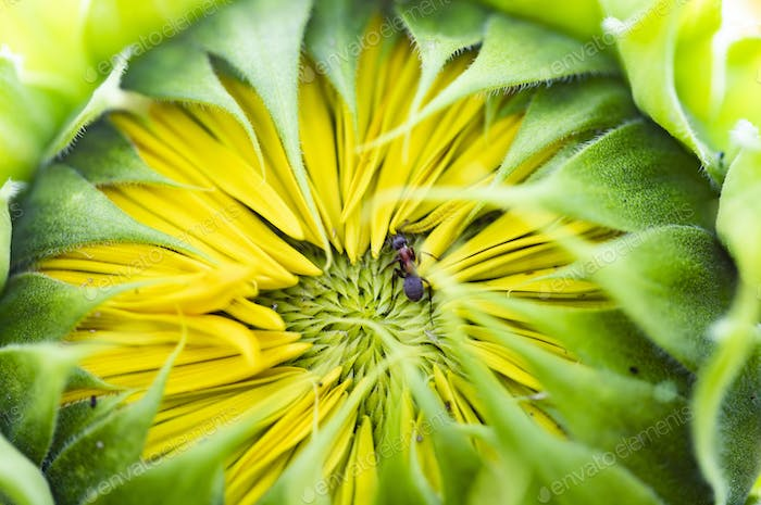 Close up on a yellow sunflower