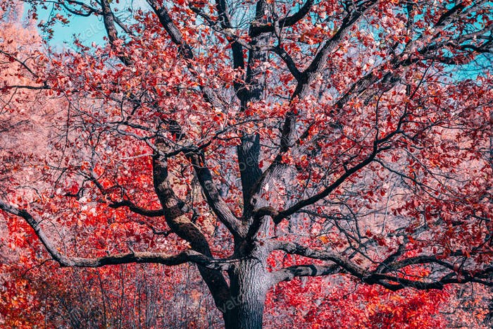 Fantasy old oak with red foliage in an autumn park.