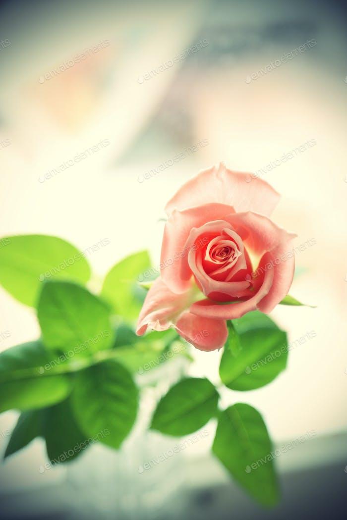 Schöne rosa Rose