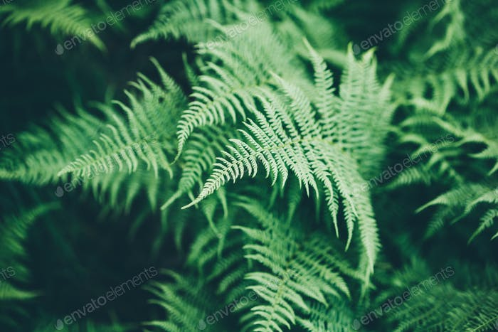 Ferns in the forest. Natural floral fern background.