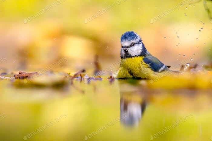 Blue tit in water autumn background