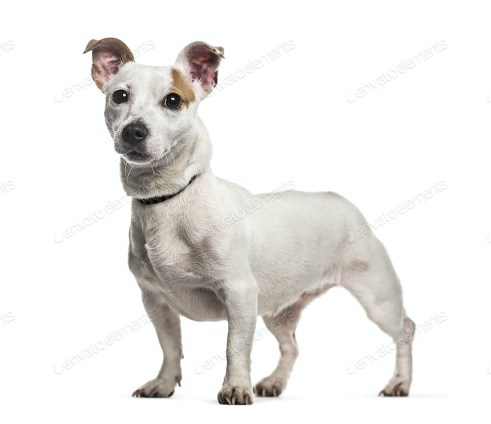 Jack russel dog standing, cut out