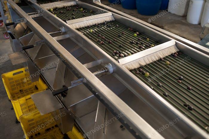Fresh olives on conveyor belt