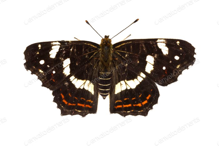 Map butterfly (Araschnia levana) on a white background
