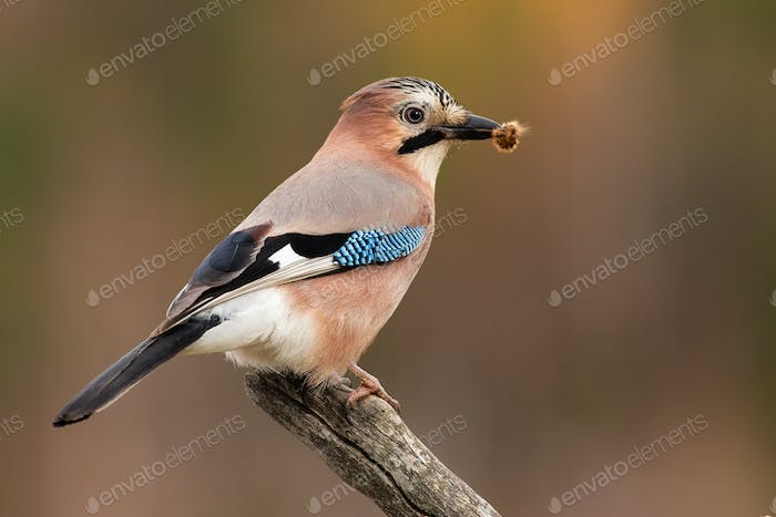 Eurasian jay sitting on branch in spring nature with catch in beak
