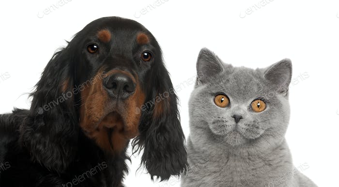 Close-up of Gordon Setter puppy, 6 months old, and British Shorthair against white background
