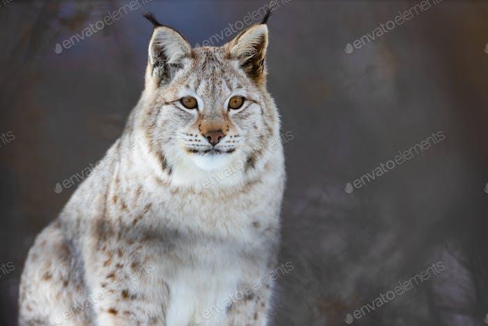 Portrait of alert Eurasian lynx at park during winter