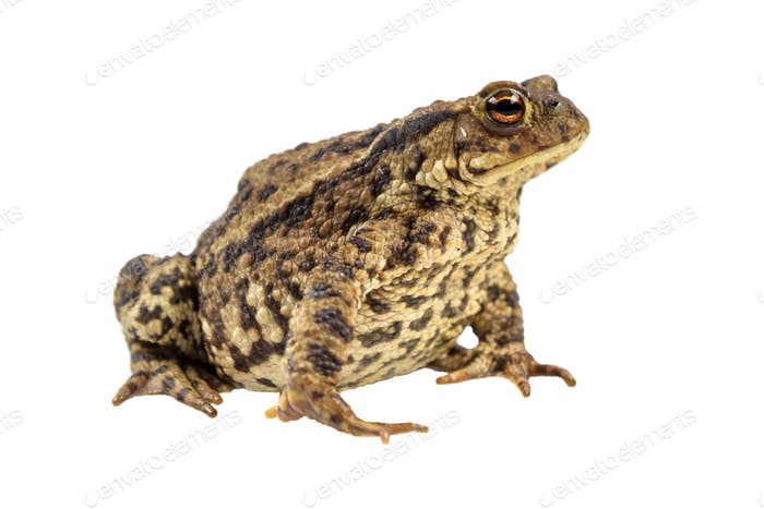 Common toad on white background