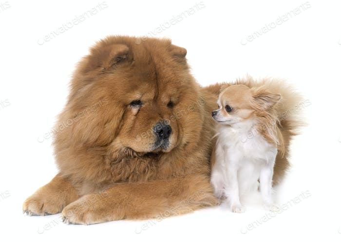 chow chow dog and chihuahua