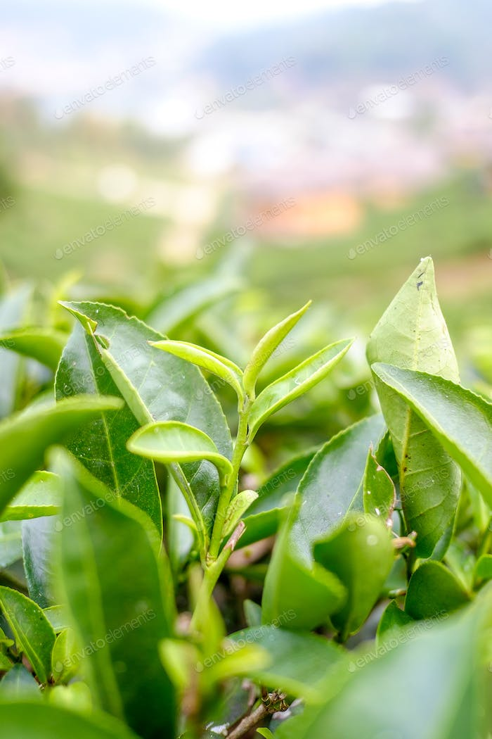 Closeup of Tea leafs from plantation site