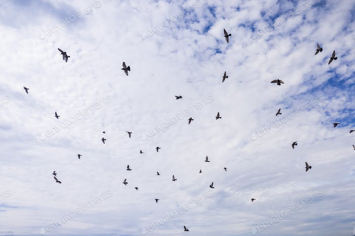 A flock of pigeons flying on a white clouds background
