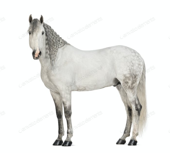 Side view of a Male Andalusian with plaited mane, 7 years old, also known as the Pure Spanish Horse