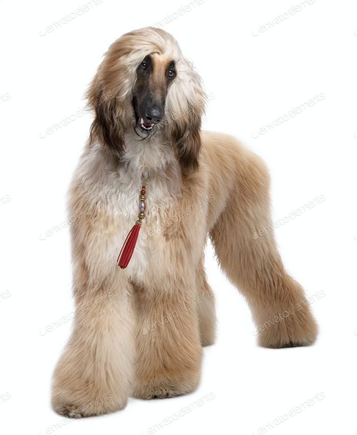 Young Brown Grommed Afghan Hound (1 years)