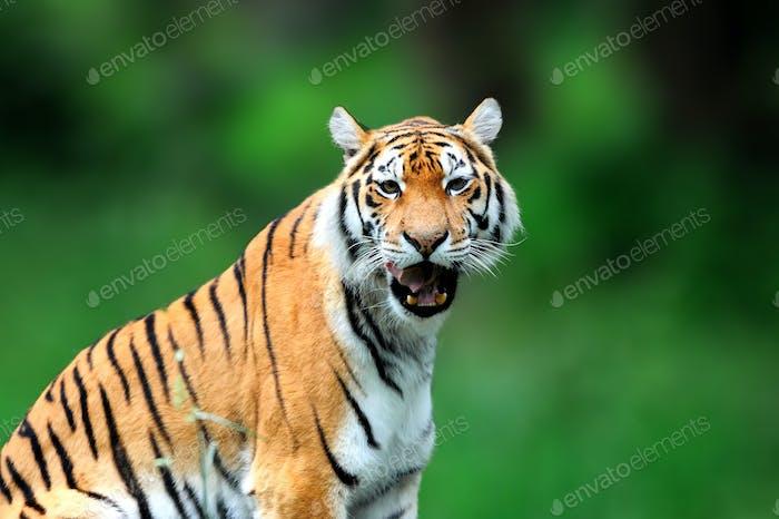 Sommer mit Tiger. Sibirischer Tiger in wunderschönem Lebensraum