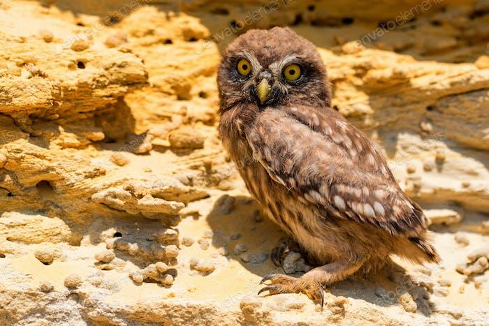 Kleine Eule oder Athene noctua auf Felsen