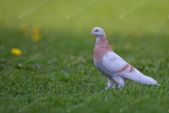 Pigeon in a clearing