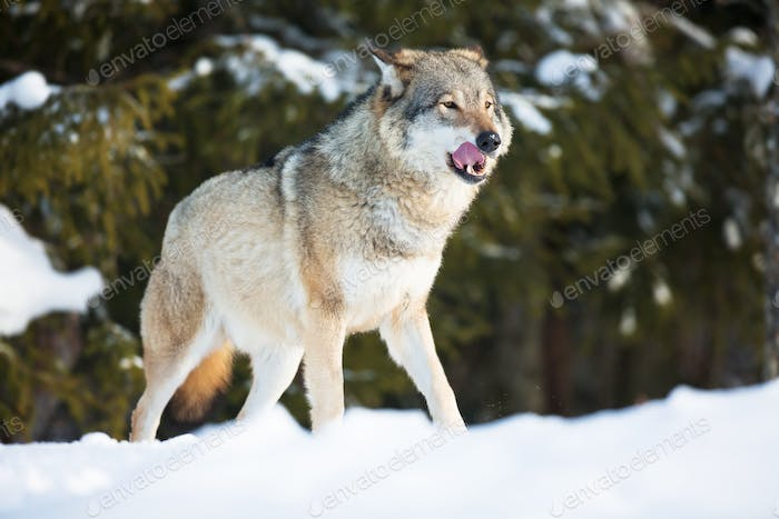 Wolf licking lips in the sunset