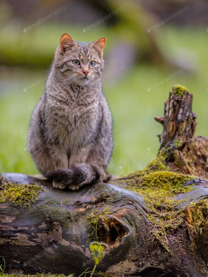 European wild cat with distictive tail