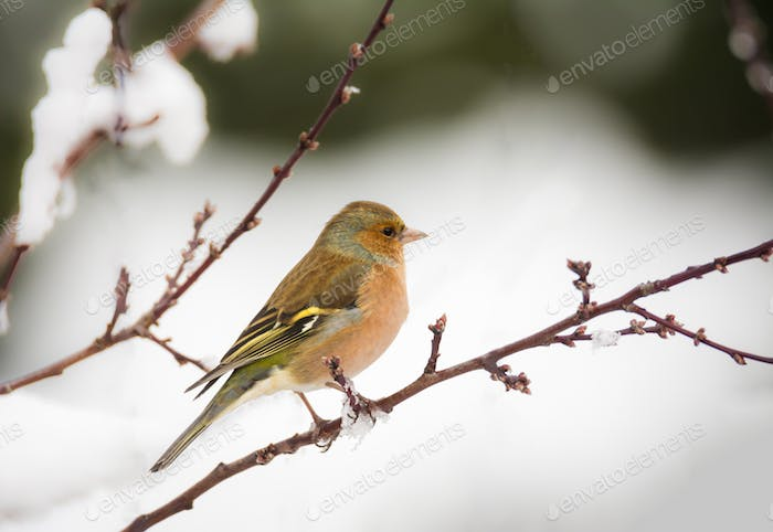 Chaffinch bird sitting on a snow covered tree