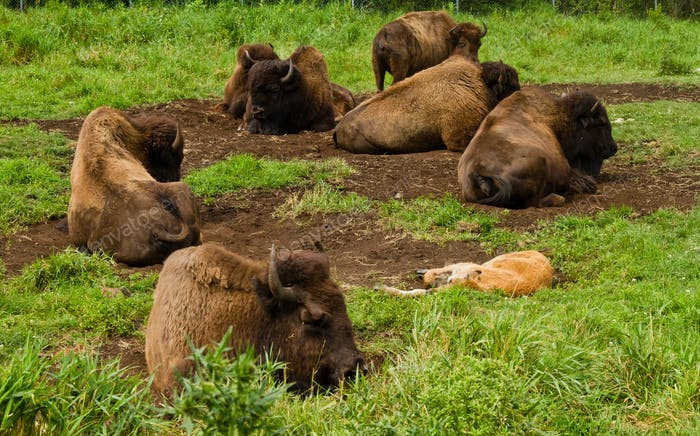 Bison resting in the nature