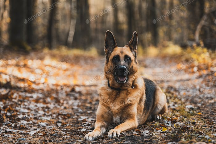 German Shepherd Dog Portrait in Autumnal Park. Bokeh Blurred Background