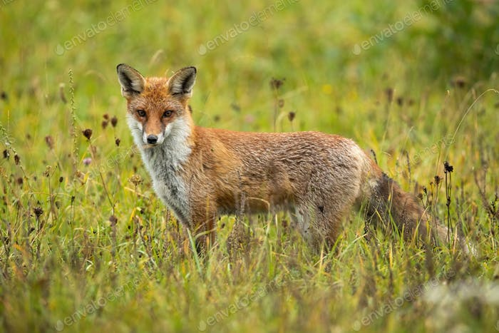 Angry red fox facing camera on a green meadow in summer