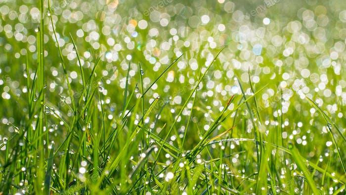 Frisches grünes Gras mit Wassertropfen auf dem Hintergrund des Sonnenlichts. Weiches Fokussieren Banner mit langer Breite