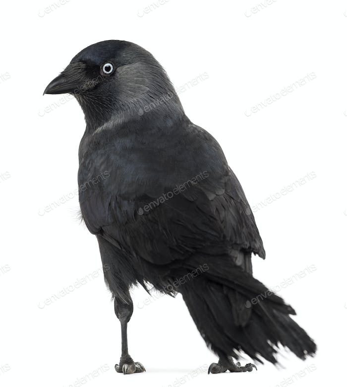 Rear view of a Western Jackdaw , Corvus monedula, (or Eurasian Jackdaw, or European or simply)