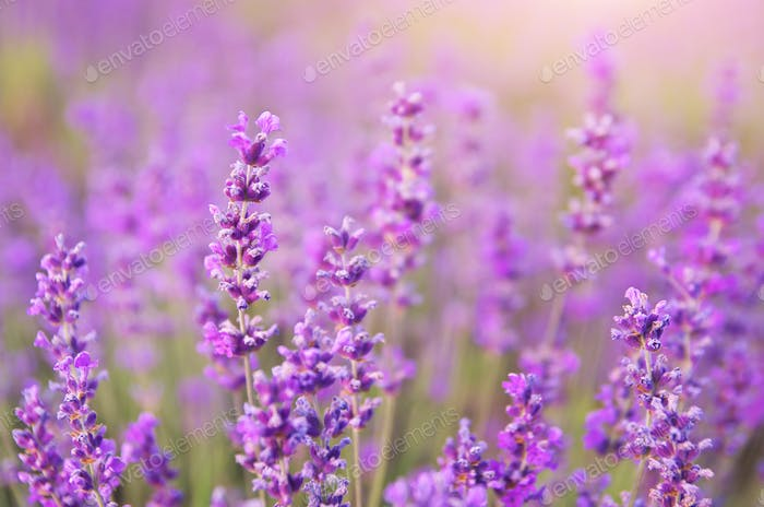 Lavender closeup nature.