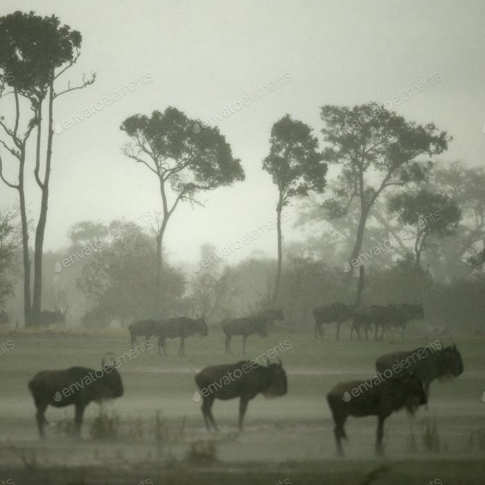 Wildebeest in the Serengeti, Tanzania, Africa
