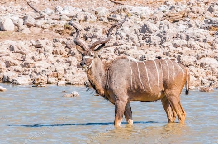 Greater kudu bull standing in a waterhole