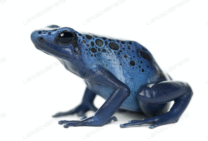 Blue and Black Poison Dart Frog, Dendrobates azureus, against white background