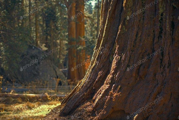 Ancient Giant Sequoia Tree