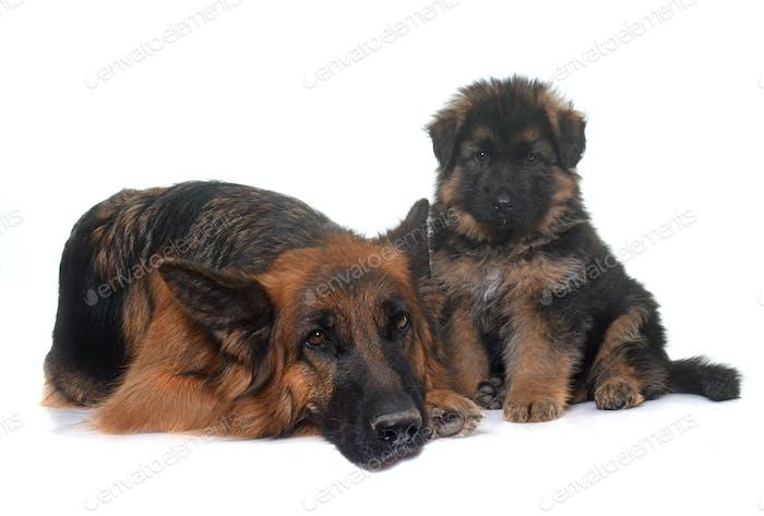 puppy and adult german shepherd