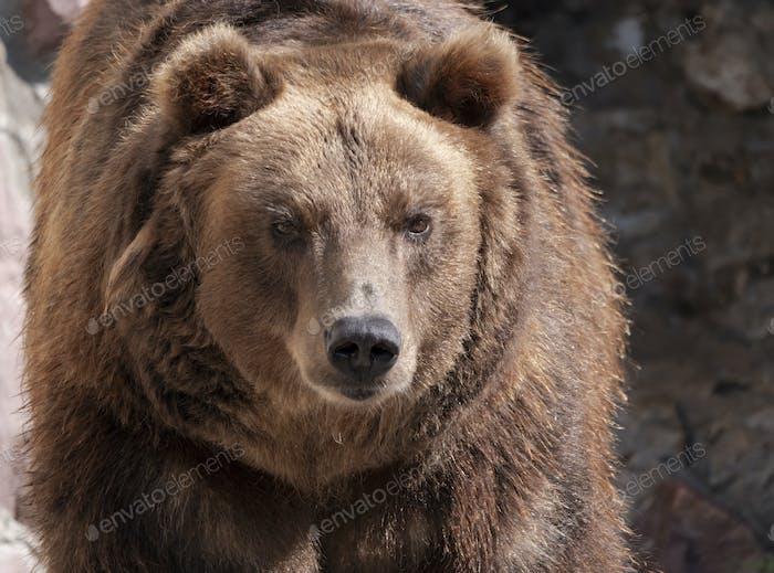Brown Bear Ursus Arctos Portrait On The Hunt.