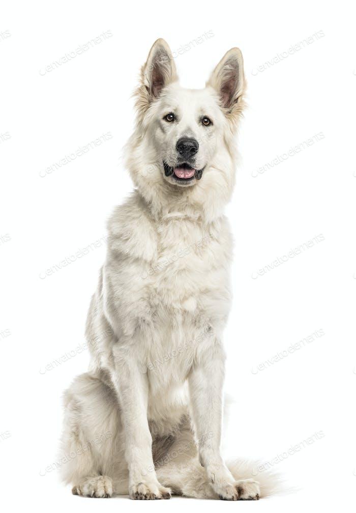 Schweizer Schäferhund sitzt vor einem weißen Hintergrund