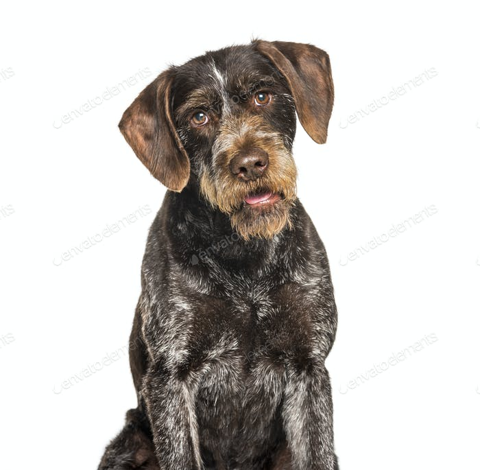 German Wirehaired Pointer also know as Drahthaar sitting against white background