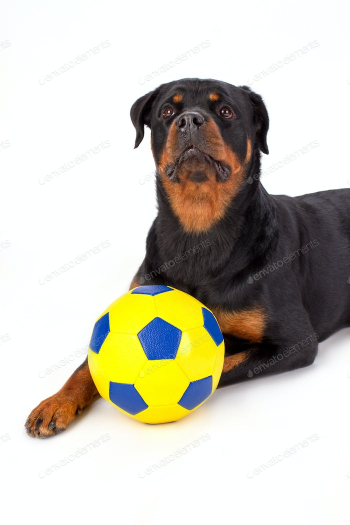 Young rottweiler with soccer ball