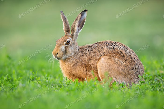 Brown hare resting in clover in springtime nature