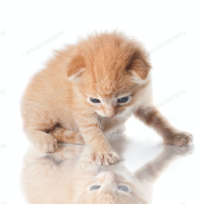 kitten looking on his reflection isolated on white