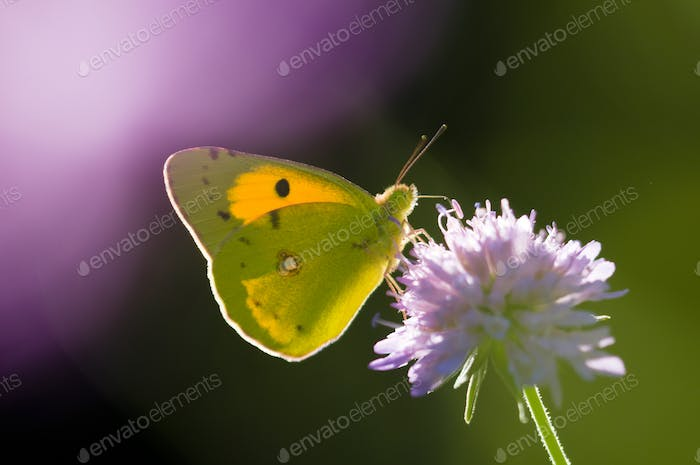 Colias Butterfly on a Purple Flower