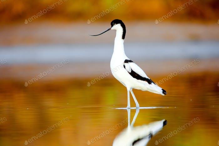 Pied Avocet, Recurvirostra avosetta