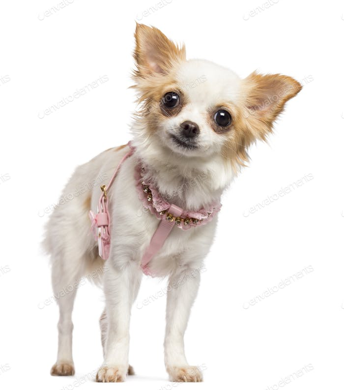 Chihuahua, 1 year old, wearing pink harness and looking at camera against white background