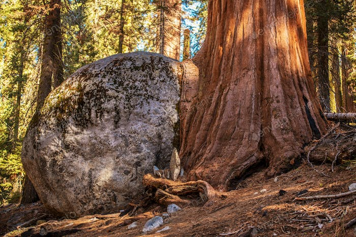 Thumbnail for Sequoia Tree Rock Growing