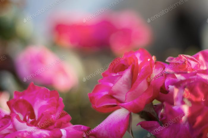 Roses with beautiful