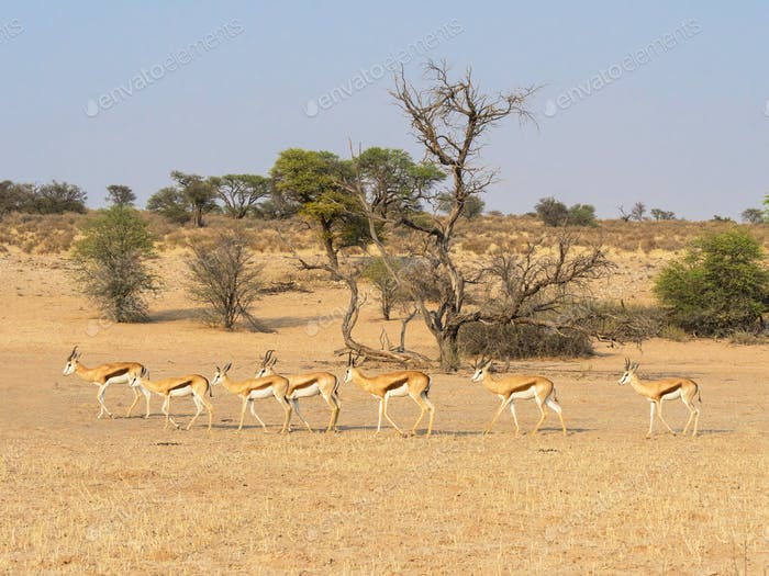 Springbok Herd and Camelthorn Tree