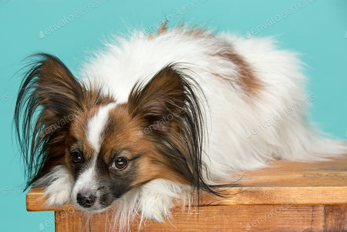 Studio portrait of a small yawning puppy Papillon