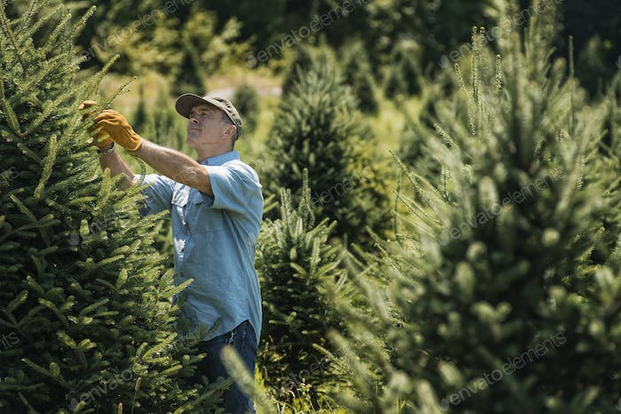 A man clipping and pruning a crop of conifers, pine trees in a plant nursery.