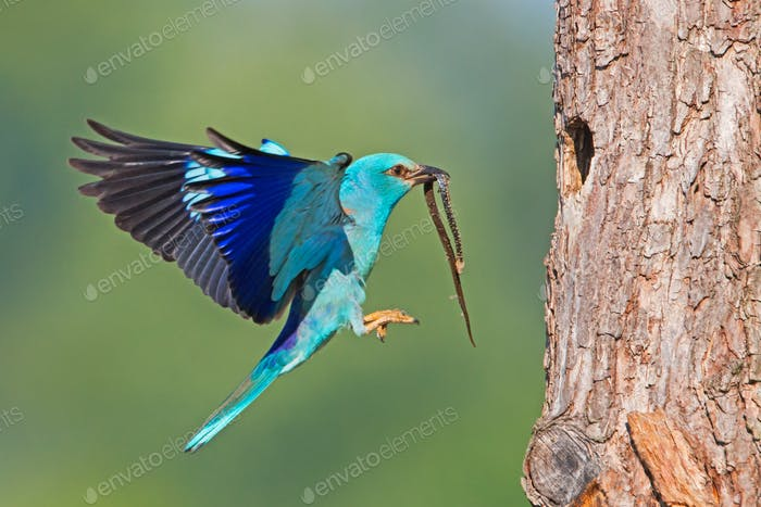 European roller landing on bark of tree with snake in the beak with copyspace
