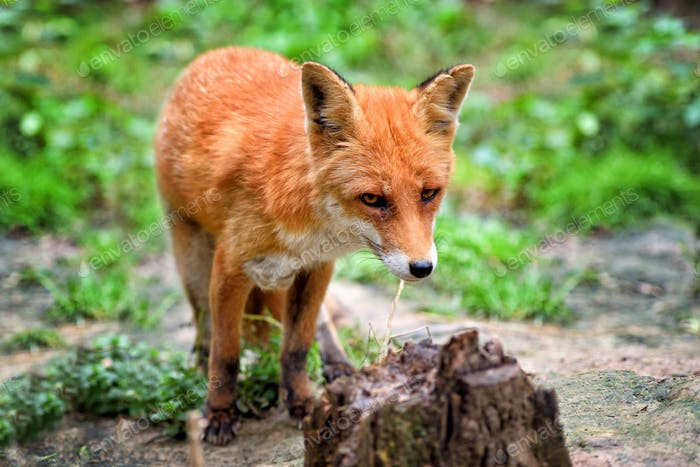 European red fox (Vulpes vulpes) in forest.